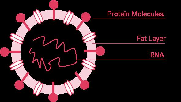 structure of enveloped viruses